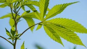 Het groene Onkruid van de de Marihuanainstallatie van Cannabisbladeren Royalty-vrije Stock Foto's