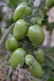 Het groene onrijpe tomaat ` s hangen op een tomatenplant in de tuin, selectieve nadruk Stock Afbeelding