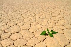 Het groene plantaardige groeien op gebarsten woestijngrond Stock Afbeeldingen