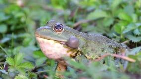 Het groene ridibundus van de moeraskikker pelophylax krassen Sluit omhoog portret stock videobeelden