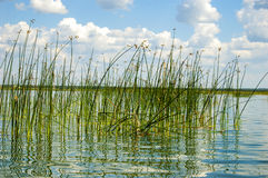 Het groene riet in het meer stock foto's