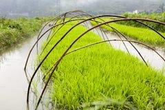 Het groene Rijst Groeien op Landbouwbedrijf Stock Afbeeldingen