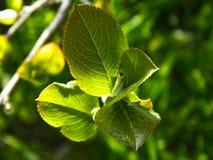 Het groene sappige verse jonge blad, de zomer begint stock fotografie