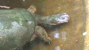 Het groene schildpad onderwater zwemmen stock video