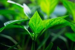 Het groene spruit groeien van zaad royalty-vrije stock afbeeldingen
