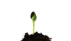 Het groene spruiten groeien Royalty-vrije Stock Afbeelding
