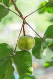 Het groene Thaise fruit van santolmeliaceae op boom Stock Foto