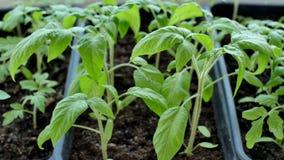 Het groene tomaat zaaien in serre zijn klaar voor het planten stock video
