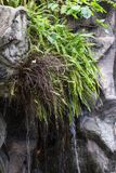 Het groene varen groeien op de rots Stock Foto's