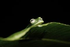 Het groene verbergende blad van de boomkikker in Amazonië regenwoud Stock Foto's