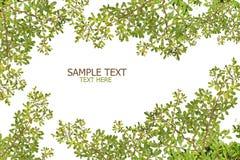 Het groene verlof op witte achtergrond leidt tot aan frame Royalty-vrije Stock Afbeelding