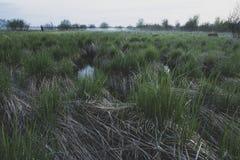 Het groene, verse gras groeit op een verlaten, moerassig gebied, amid het toenemen mist en struiken royalty-vrije stock afbeelding