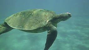 Het groene Zeeschildpad zwemmen onderwater in het blauw stock videobeelden