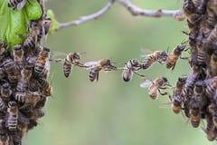 Het groepswerk van bijen overbrugt een hiaat van bijenzwerm Royalty-vrije Stock Foto