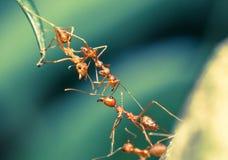 Het groepswerk van de mierenbrug Royalty-vrije Stock Fotografie
