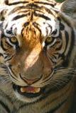 Het grommen van de tijger stock fotografie