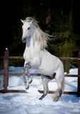 Het grootbrengen de $ce-andalusisch winter van de paardwinst Stock Fotografie