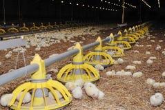 Het grootbrengen van het gevogelte landbouwbedrijf Stock Foto