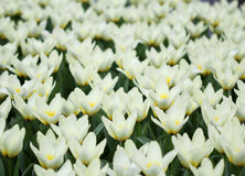 Het grote bedrag kleurrijke tulpen in de lente Stock Foto