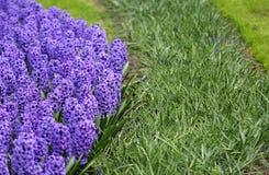 Het grote bedrag purpere blauwe hyacinten Royalty-vrije Stock Afbeeldingen