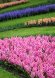 Het grote bedrag purpere roze hyacinten Stock Afbeeldingen