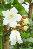 Het grote bloeien van de bloem van de Wijnstok van de Lelie van Pasen Royalty-vrije Stock Foto