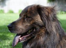 Het grote bruine hond hijgen Stock Afbeeldingen