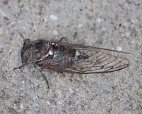 Het grote bruine insect van Cicadecicadoidea op bestrating Royalty-vrije Stock Fotografie