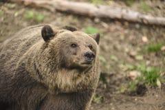 Het grote bruine mamma draagt Stock Foto's