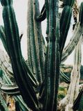 Het grote cactus groeien stock foto's