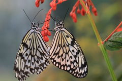 Het grote de vlinders van Boomnimfen koppelen Stock Foto's