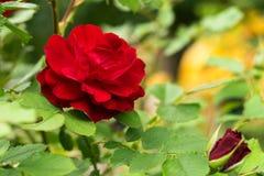 Het grote donkerrode tot bloei komen nam toe Royalty-vrije Stock Afbeeldingen