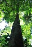 Het grote en dikke boom uitrekken zich aan grote hoogten in het regenwoud stock afbeeldingen