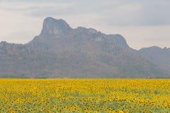 Het grote gebied van de volledige bloeizonnebloem met berg Stock Foto