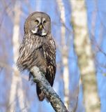 Het grote Grey Owl-stellen op een berkboomstam royalty-vrije stock afbeelding