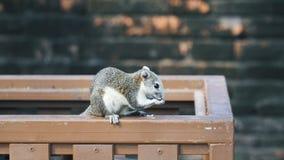 Het grote grijze eekhoorn eten stock video
