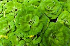 Het grote groene waterplantsla drijven Stock Afbeeldingen