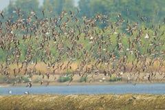 het grote groep vliegen van Lesser Sand Plover Stock Foto's