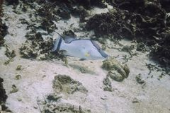 Het grote hogfish zwemmen Royalty-vrije Stock Afbeeldingen