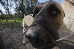 Het grote hoofd van de hond kijkt door de getelegrafeerde omheining royalty-vrije stock foto