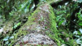 Het grote hoogtepunt van de boomboomstam met het werk de mieren van de bladsnijder op het werk stock video