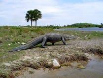Het grote krokodille lopen op een rivierbank Stock Afbeelding