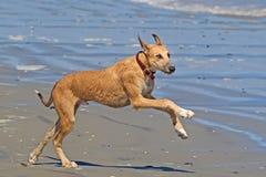 Het grote kruisingshond spelen op strand stock afbeelding