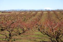 Het grote landbouwbedrijf van de fruitboom. Stock Fotografie