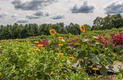 Het grote Landschap van de Bloemtuin met Zonnebloemen en Diverse Wildflower-Bedden royalty-vrije stock fotografie
