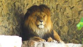 Het grote leeuw liggen stock videobeelden