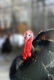 Het grote mannetje van Turkije Stock Afbeelding