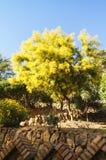 Het grote mimosa` s boom bloeien Stock Fotografie