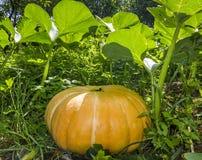 Het grote pompoen groeien in tuin Stock Fotografie