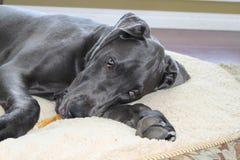 Het grote puppy van de Deen Stock Afbeelding